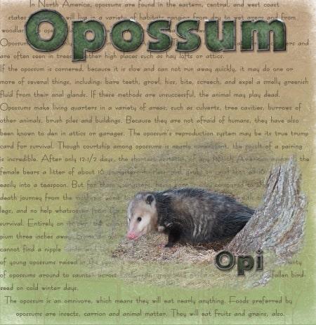 Scrapbook page of Opossum and Cardinal