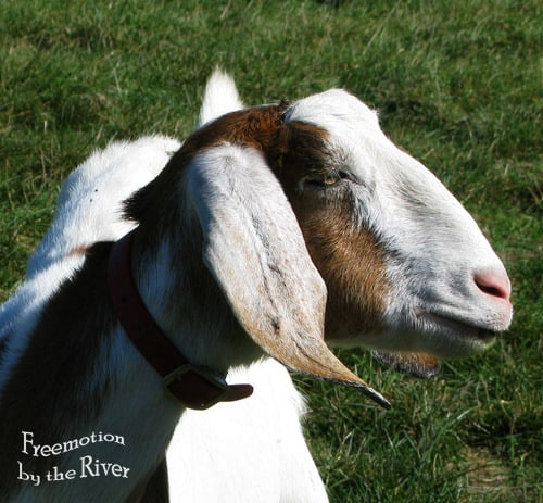 Front view of goat