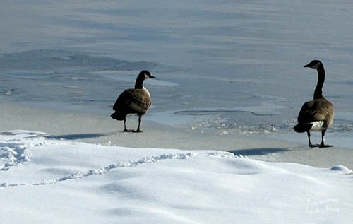 Geese, snow and Celtic Solstice