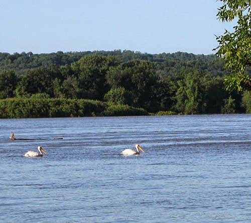 Pelicans in the flooded Mississippi river