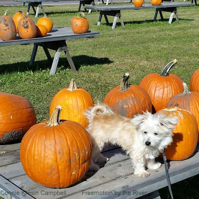 Pumpkins and Sadie