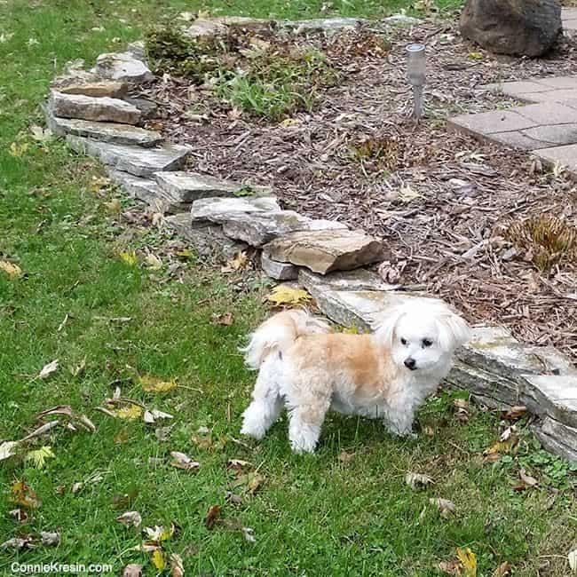 Sadie in the yard